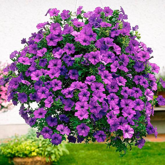 Petunie Surfinia® Violet