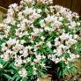 Weißer Oleander, XL-Qualität | #1