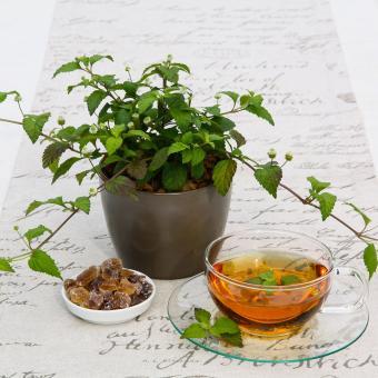 BIO Kräuterpflanze Aztekisches Süsskraut, im ca. 12 cm-Topf | #10