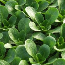 Saatgut-Holzbox Salatvielfalt, 7 Saatgut-Sorten | #12