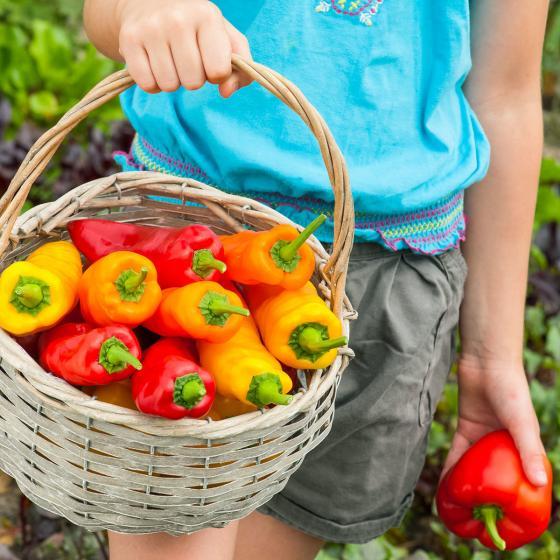 Gemüsesamen-Sortiment Corno di Toro-Paprika | #2