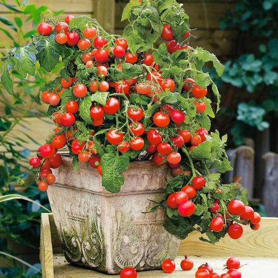 Tomatenpflanze Lizzano F1, im ca. 10,5 cm-Topf | #2