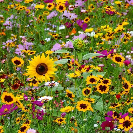 Blumensamen-Mischung Original Mössinger Sommer für 3 qm | #2