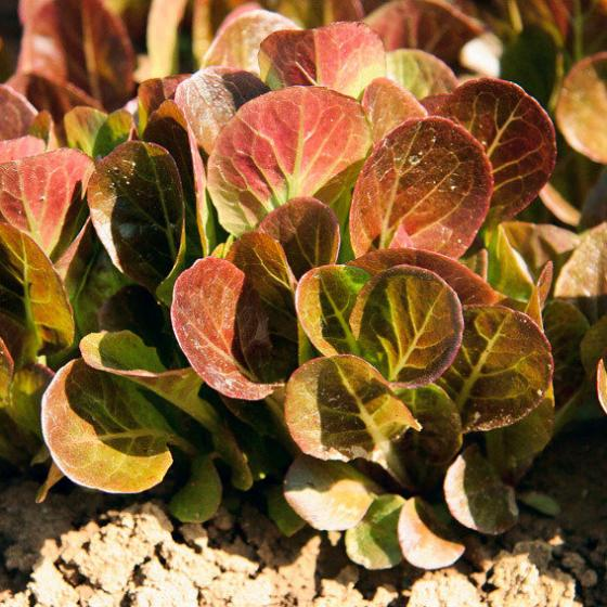 Salatsamen Romana- und Feldsalat Ovired | #2