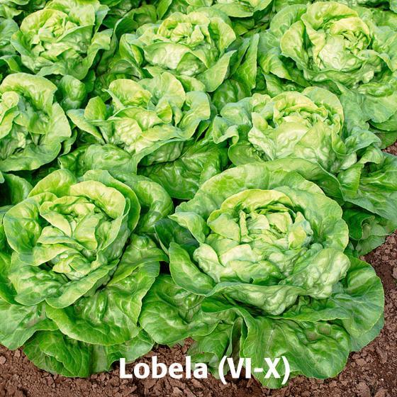 Gemüsesamen-Set Kopfsalate | #2