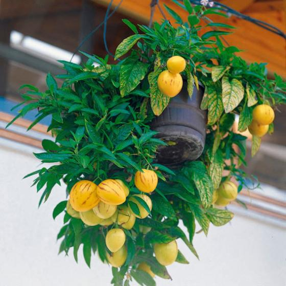 Birnenmelone Pepino | #2