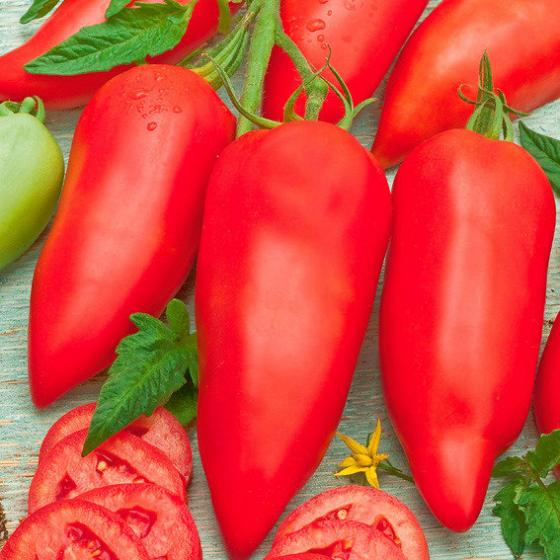 Tomatenpflanze Andenhörnchen Andine Cornue F1, veredelt | #2