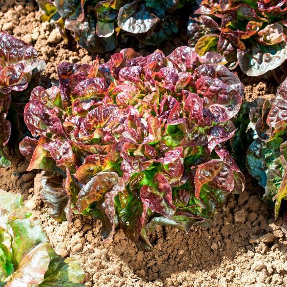 Salatsamen Eichblatt- und Pflücksalat Saxo | #2