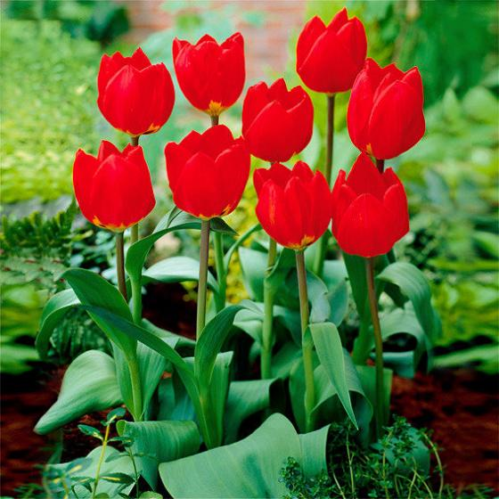 Tulpe Red Revival | #2