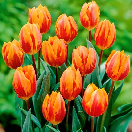 Tulpe Prinzessin Irene | #2