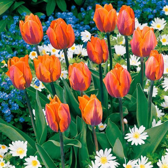 Tulpe Prinzess Irene | #2