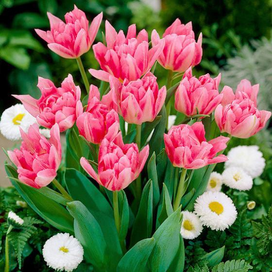 Tulpe Peach Blossom | #2