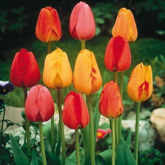 Darwin-Hybrid-Tulpen-Mischung | #2