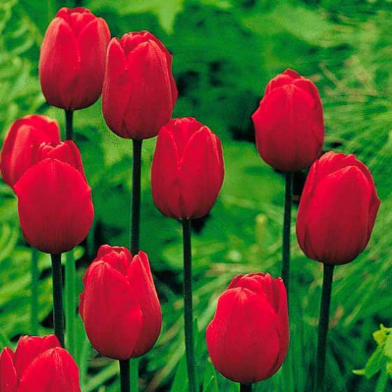 Tulpe Königsblut | #2