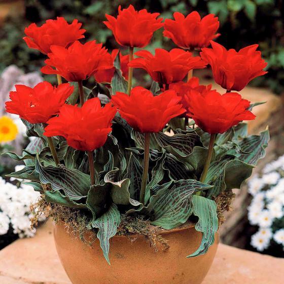 Tulpe Doppeltes Rotkäppchen, gefüllt | #2