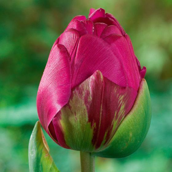 Tulpe Abigail | #2