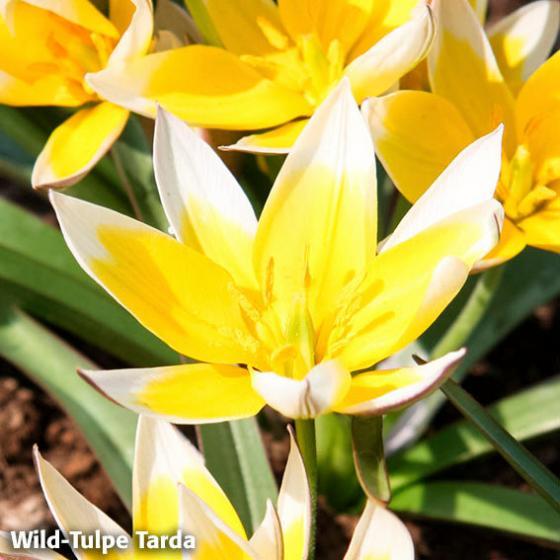 Blumenzwiebel-Mischung Bunte Frühlingswiese | #2