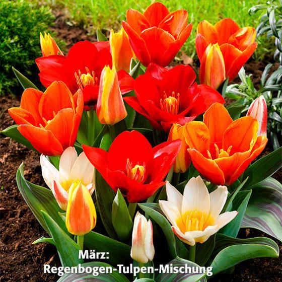 Blumenzwiebel-Sortiment 12 Wochen Tulpen-Blüte | #2