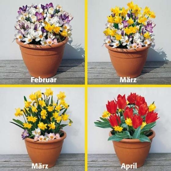 Blumenzwiebel-Sortiment Topf-Set 6 Wochen bunte Blumenfreude | #2