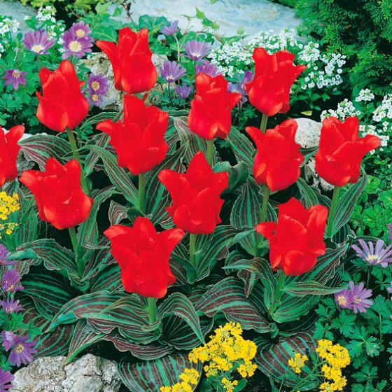 Tulpe Rotkäppchen | #2