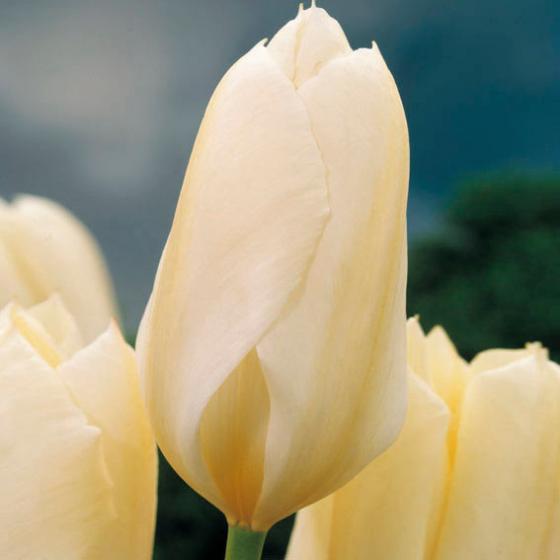 Tulpe Purissima | #2