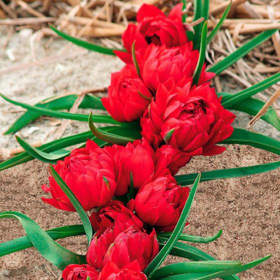 Tulpe humilis Tete a Tete | #2