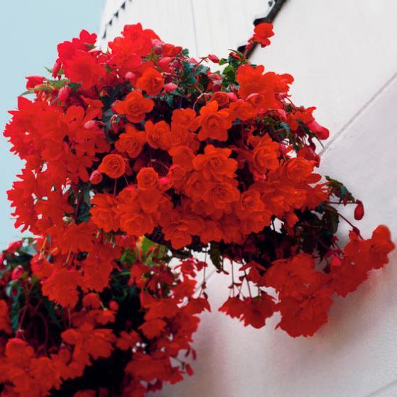 Girlanden-Begonie Illumination Orange   #2