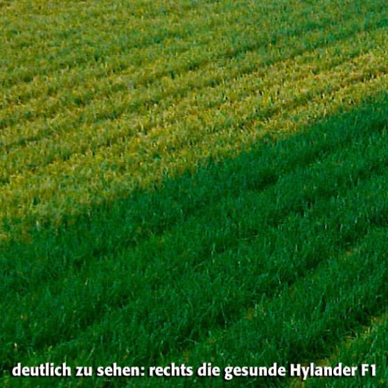 Saatband 6 m Zwiebel Hylander F1 | #2