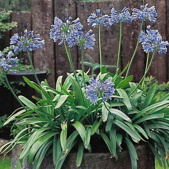 Schmucklilie, Afrikanische Lilie, blau | #2