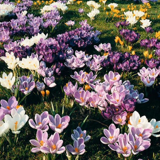 Gartenkrokus-Mischung Krokuswiese Blaue Symphonie | #2