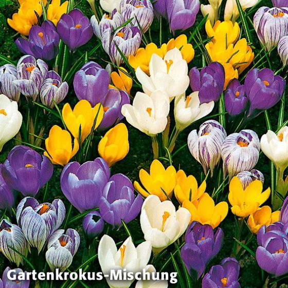Sortiment Garten-Krokus-Mix und Tulpe Showwinner | #2