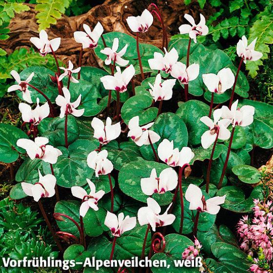 Sortiment Vorfrühlings-Alpenveilchen, 2 x 3 Stück | #2