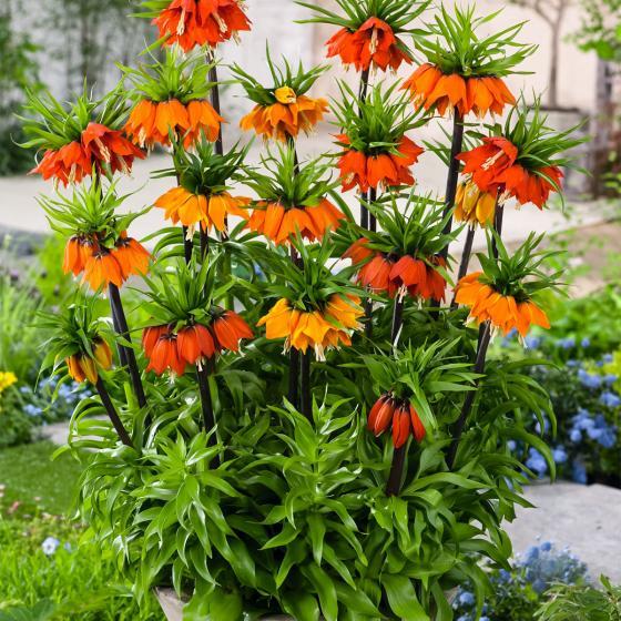 Blumenzwiebel-Sortiment Kaiserkronen | #2