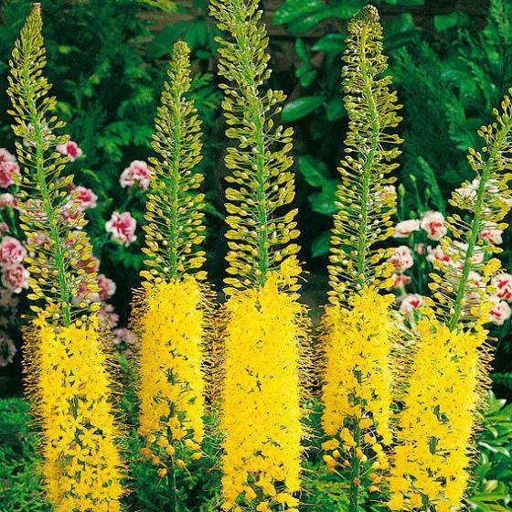 Blumenzwiebel-Sortiment Steppenkerzen | #2