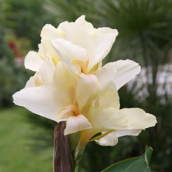 Canna Niagara (Indisches Blumenrohr) | #2