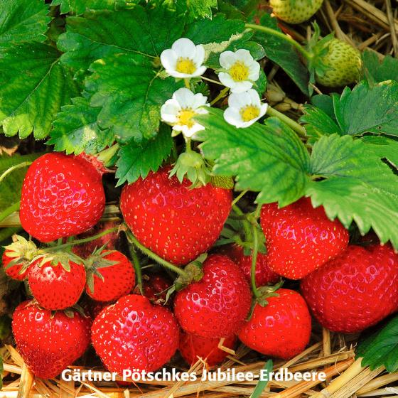 Gärtner Pötschkes Erdbeersorten Auslese, getopft | #2