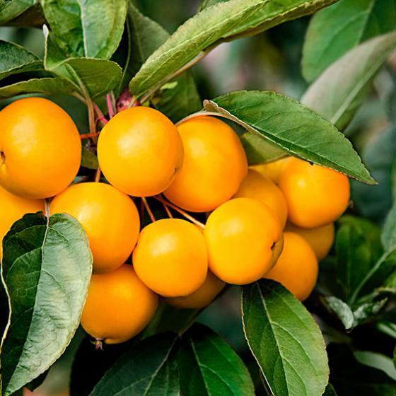 Gelbfruchtiger Vogelfutter-Baum | #2