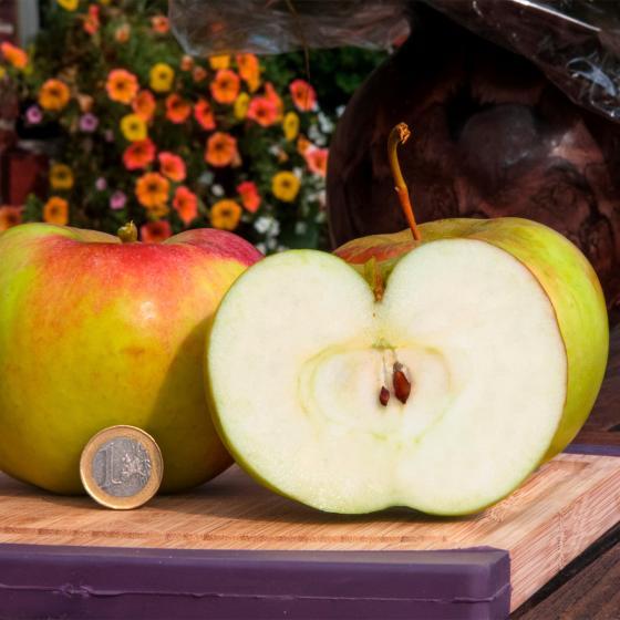 Riesen-Apfel Aport | #2