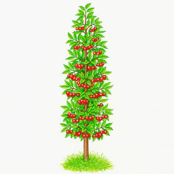 Säulen-Sauerkirsche Maynard®, im ca. 23 cm-Topf | #2