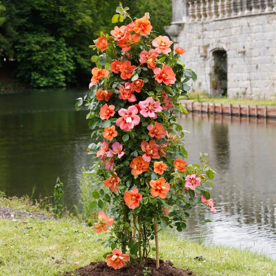 Rose Gärtner Pötschkes Orange Eyeconic®, im 3-Liter-Topf | #2