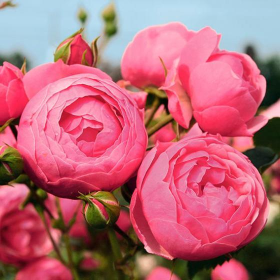Rose Pomponella ®, im 5,5-Liter-Topf | #2