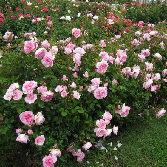 Rose Roseraie du Chatelet®, im 5,5-Liter-Topf | #2