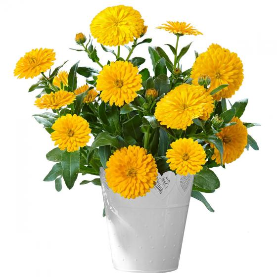 Winterharte Calendula Winter Wonders® Golden Glaze | #2