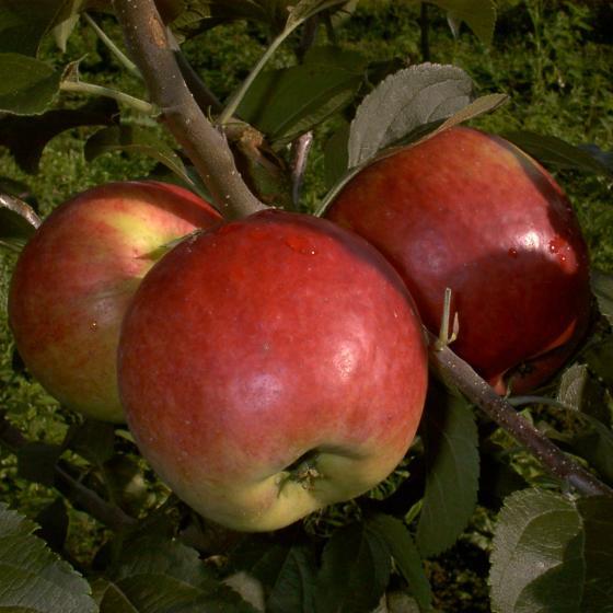 Duo-Apfel Reglindis - James Grieve, 2-jährig | #2