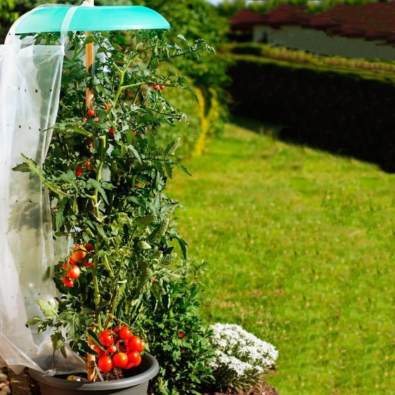 Tomatenhut Starter-Set, 3 Stück | #2