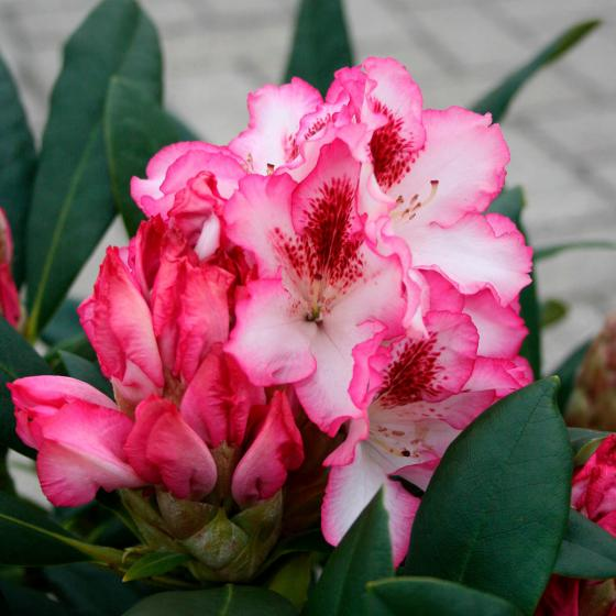 Rhododendron Charmant | #2