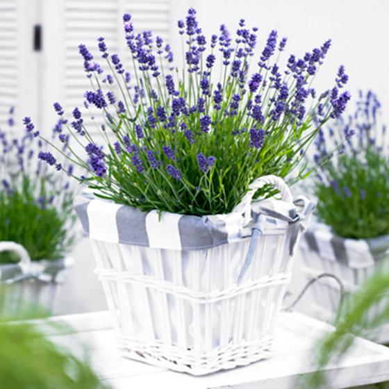 Lavendel Essence Purple, im ca. 19 cm-Topf | #2