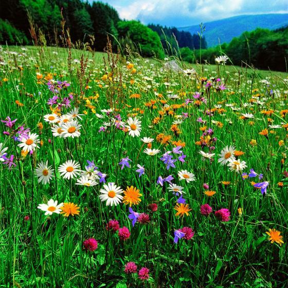 Blumenwiesensamen, 500 g | #2