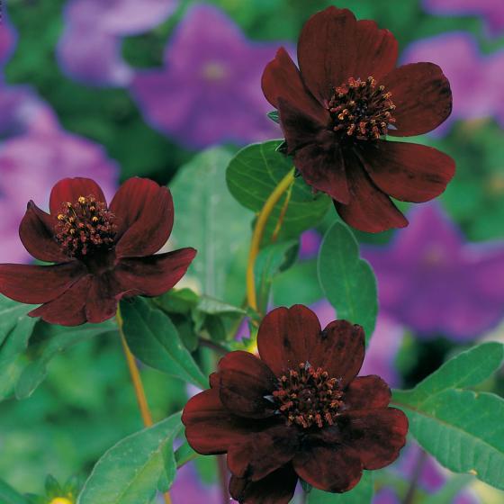 Schokoladenblume, im ca. 19 cm-Topf | #2