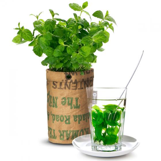 Teegarten Bio Minzesamen im RAG Pflanzbeutel | #2